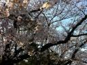 japan-cherry-blossom-photo-3-800x600.JPG